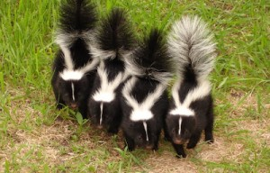 skunks-large